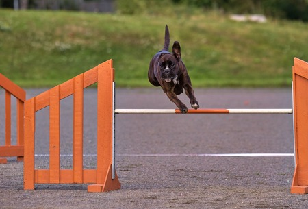exiting: Brown boxer jumps in dog agility competition, an exiting dog sports event.