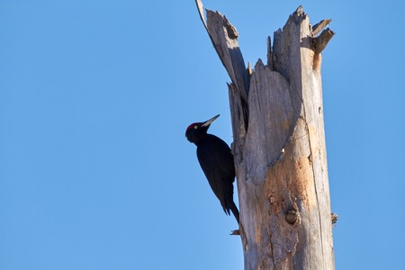 deadwood: Woodpecker knocking on a deadwood on a sunny day.