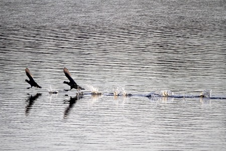 water birds: Two coots sprinting on the lake. Water birds fighting and running on the water.