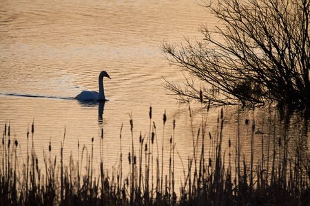 swimming swan: Swimming swan silhouette in the morning light of the rising Sun.
