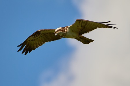 Hunting osprey flying in the blue sky with some clouds. This bird of prey is searching the next meal in the water. Imagens