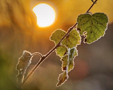 climas: Imagen de primer plano de abedul hojas congeladas en una ma�ana soleada de oto�o fr�o. imagen HDR.