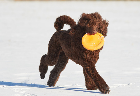 standard poodle: Standard poodle running with a frisbee in the snow in winter.