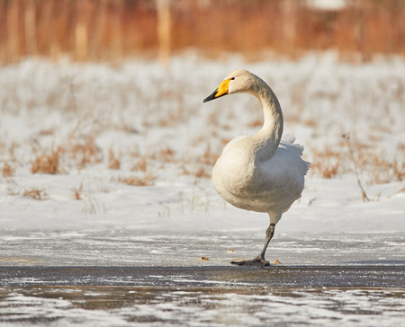 webbed foot: Whooper swan (Cygnus Cycnus) standing on one leg on the ice of a frozen lake in Finland in winter. Sunny and cold weather. Stock Photo