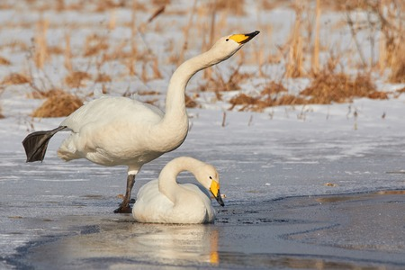 close together: Whooper swan (Cygnus Cycnus) couple resting close together on the ice of a frozen lake in Finland in winter.