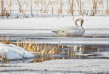 webbed foot: Whooper swan (Cygnus Cycnus) resting eyes closed on the ice of a frozen lake in Finland in winter. Reflection of the swan in the water.