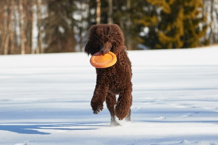 standard poodle: Standard poodle running with a toy in the snow in winter. Stock Photo