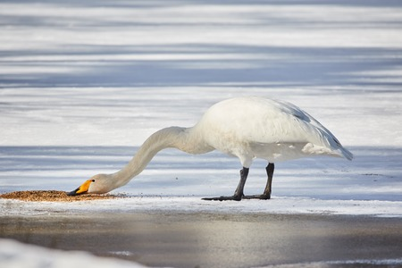 webbed foot: Whooper swan (Cygnus Cycnus) standing and eating on the ice of a frozen lake in Finland in winter. Beautiful late afternoon sunlight.