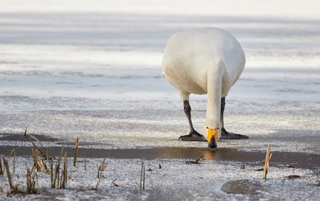 webbed foot: Whooper swan (Cygnus Cycnus) standing and drinking water on the edge of the ice of a frozen lake in Finland in winter. Beautiful late afternoon sunlight.