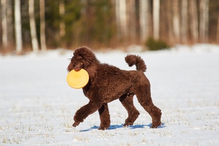 standard poodle: Standard poodle walking with a  toy in the snow in winter. Stock Photo