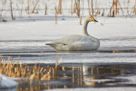 webbed foot: Whooper swan (Cygnus Cycnus) resting on the ice of a frozen lake in Finland in winter. Reflection of the swan in the water. Stock Photo