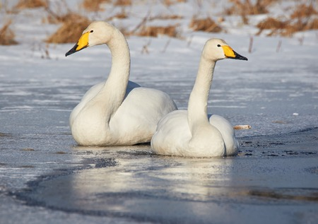 webbed foot: Whooper swan (Cygnus Cycnus) couple resting close together on the ice of a frozen lake in Finland in winter.