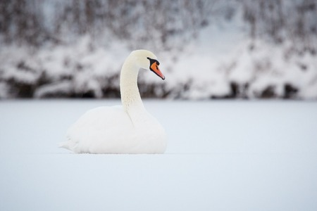 olor: Mute Swan (Cygnus Olor) sitting on ice of a frozen lake in Finland in the winter. Stock Photo