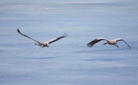 herons: Grey herons flying above icy lake in the spring