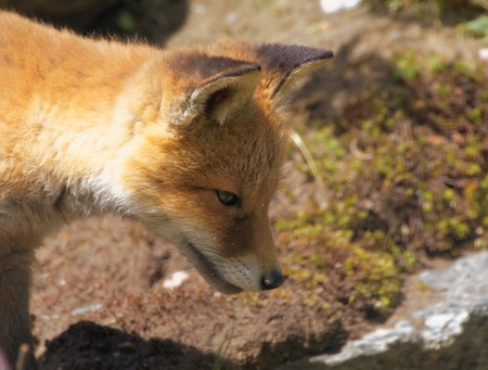 side profile: Fox (Vulpes vulpes) cub side profile. Close up image of a cute wild animal in the sunlight.