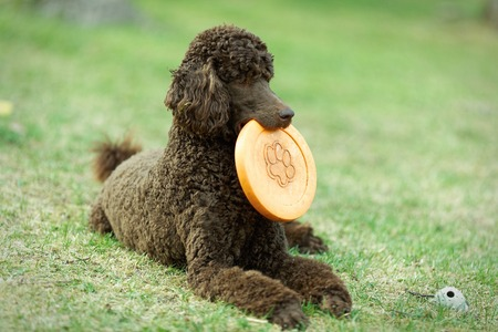 Poodle portrait in the summer with bright green background. Brown standard poodle laying on the grass with smart look in its eyes.