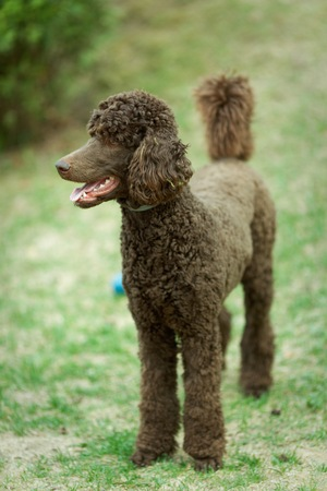 Poodle the summer garden with bright green background. Brown standard poodle standing on the grass with smart look in its eyes.