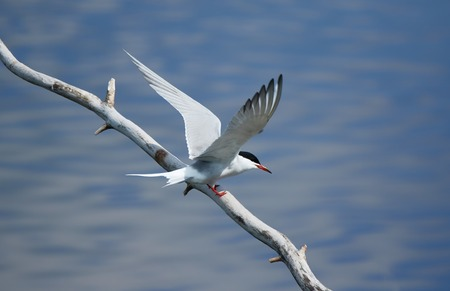 seabird: Common tern (Sterna hirundo) spreading its wings while sitting on a tree branch. Beautiful white bird above blue water of a lake. Stock Photo