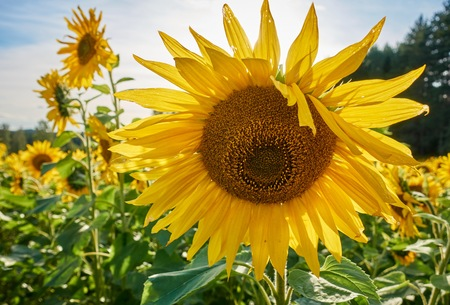 Sunny summer day on a sunflower field. Big yellow sunflower in closeup view.