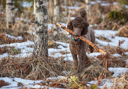 Brown poode in action fetching a stick in the springtime forest.