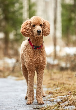 Standard poodle standing in the springtime forest ready for action. Outdoor dog portrait. Stock Photo