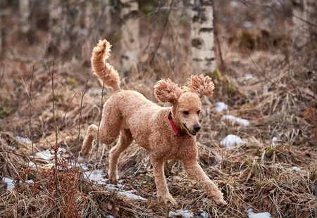 Standard poodle running on icy forest path in springtime. Stock Photo