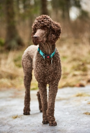 Brown poodle standing in the springtime forest ready for action. Outdoor dog portrait.