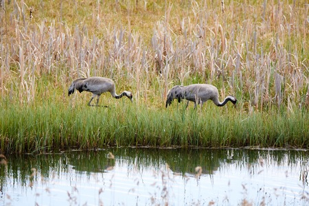Two common cranes (Grus grus) walking on the shore of a lake in summer with beautiful reflection in the water. Stock Photo