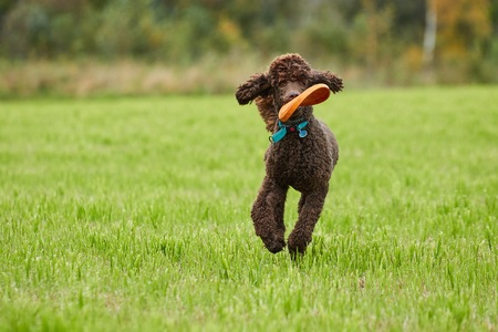 Brown poodle running with a toy on the grass in summer