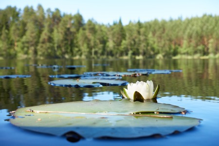 Summertime scene with a water lily flower in the lake.