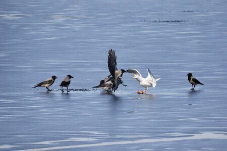 European herring gull fighting hooded crows for a fish on the ice of frozen lake in spring. Stock Photo
