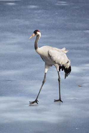 Common crane walking on the ice of a frozen water in early spring. Stock Photo - 76839877