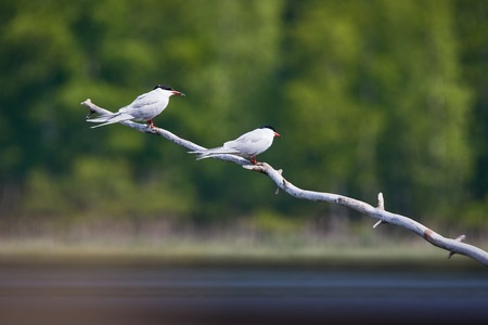 Two common terns (Sterna hirundo) sitting on a tree branch. Beautiful white birds green forest on the background. Stock Photo