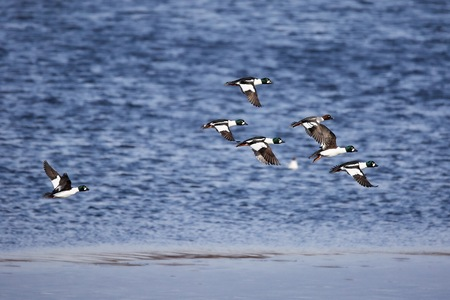 Migrating flock of golden eye ducks flying above the water in spring.