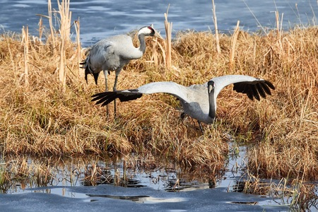 Two common cranes foraging on the shore of frozen lake in early spring.