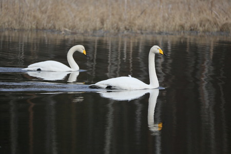 Two whooper swans simming in the water in spring.