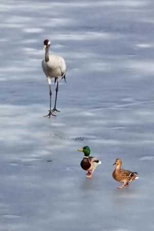 Mallard couple running away a common crane on the ice of frozen lake.