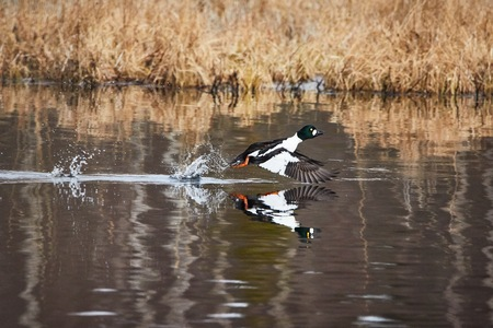 Common golden eye, Bucephala clangula, taking off and splashing water on the lake Stock Photo