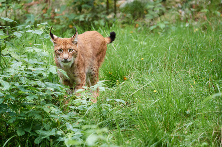 Cautious lynx standing in the grass on meadow in summer