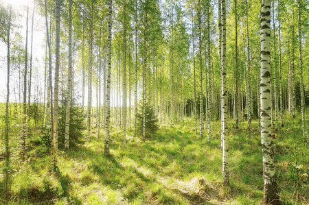 Warm spring morning in the forest with bright sunlight and sunbeams coming throught the trees. Stock Photo