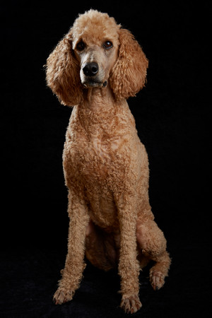 Apricot poodle in studio with black background Stock Photo