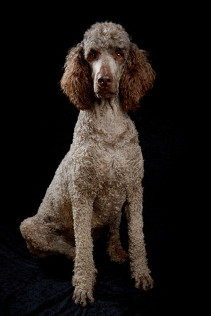 Brown poodle sitting in studio with black background Stock Photo