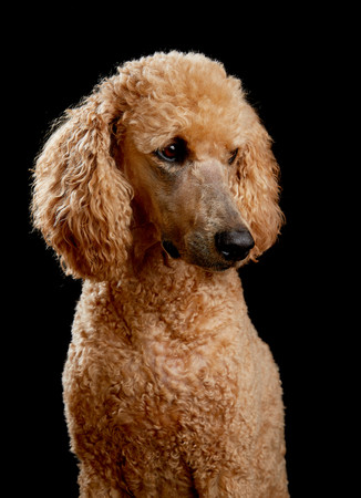 Golden poodle portrait in studio with black background