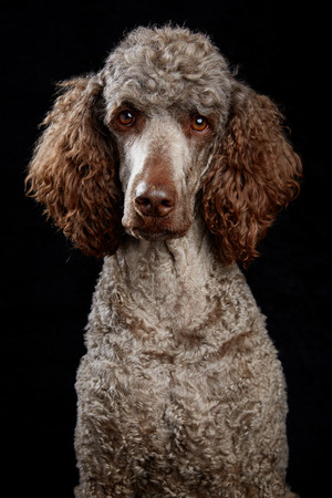 Brown poodle in studio portrait with black background