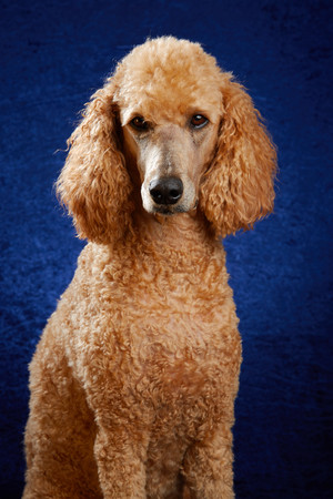 Apricot poodle in studio with blue background