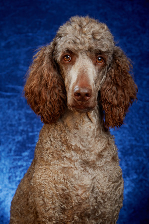 Brown poodle in studio portrait with blue background Stock Photo