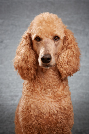 Apricot standard poodle in studio with grey background
