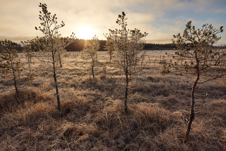 Trees in sunny frozen swamp in the autumn of Finland