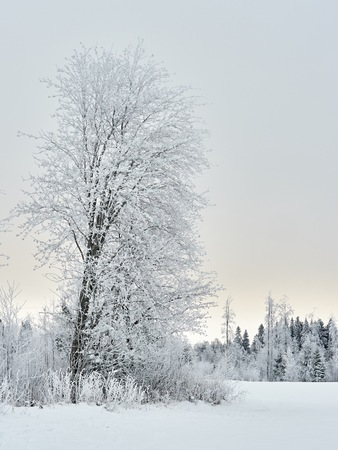 Frost covered tree in winter forest landscape in Finland. Very cold weather.