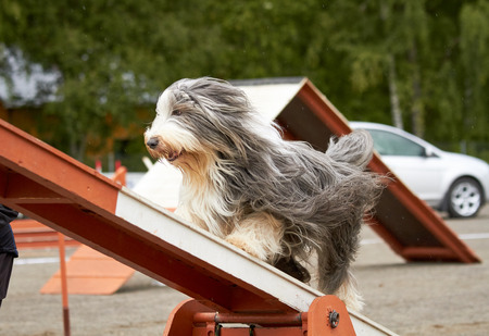 Bearded collie walking over a hurdle at dog agility training. Big fur blowing in wind. Action and sports in concept.